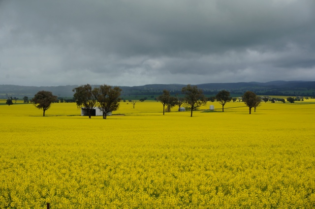 Fields of yellow.