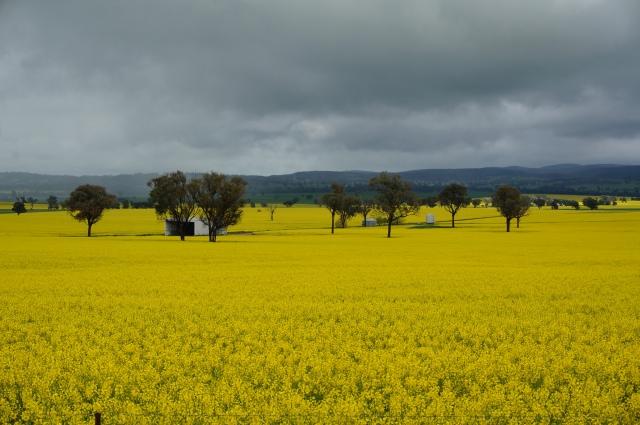 Fields of yellow.